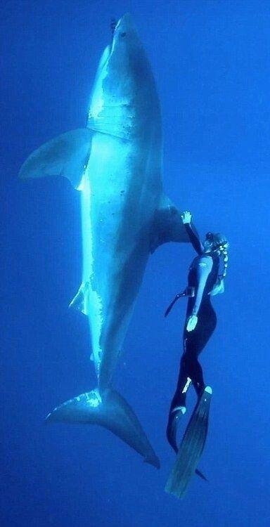Seorang Penyelam Wanita Berhadapan Langusung Dengan Spesies Hiu Terbesar